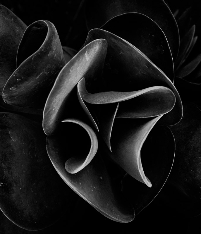 Black and white photo of a succulent plant shot by Jim Newberry.