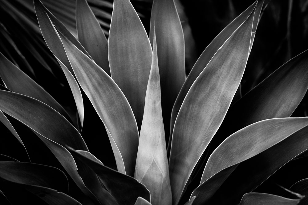 Black and white photo of an agave plant in Los Angeles. Photo by Jim Newberry.